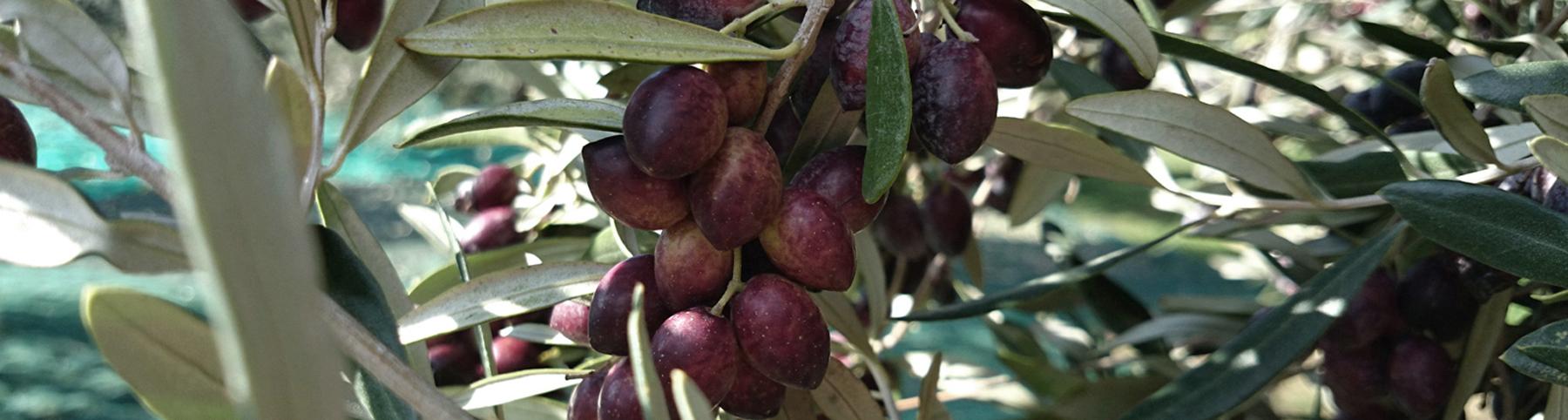 Bio Olivenöl Dafni
