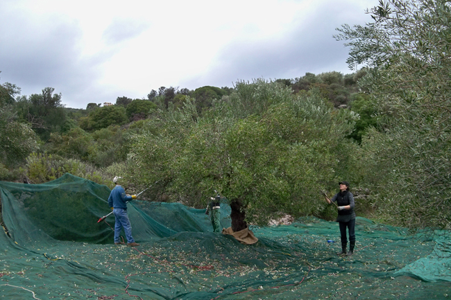 Harvesting olives by hand and with nets